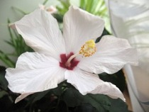 Гибискус, китайская роза, фото