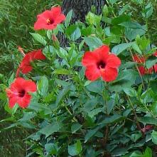 гибискус, китайская роза, уход